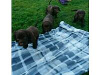 Beautiful chocolate cocker spaniel puppies