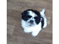 14 week black n white shihtzu