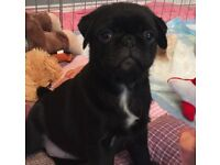 Female pug pups