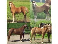 ** Welsh Sec D Youngsters For Sale. **