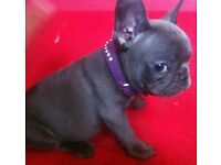 Solid Blue French bulldog girl