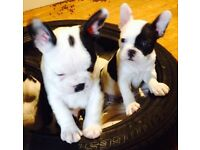 FRENCHTON PUPPIES FOR SALE