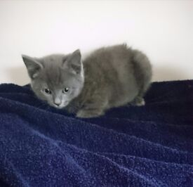 Stunning Russian x kittens ready now