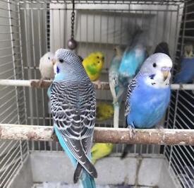Lovely budgies for sale