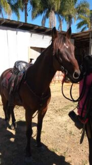 STB GELDING 10 YRS  Wamuran Caboolture Area Preview