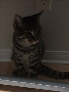 FREE Adorable Male Kitten Looking For a Furever Home