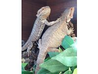 Pair of 4 year old Bearded dragons with Vivarium