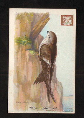 White Throated Swift  1922 Church   Dwight  Useful Birds Of America Card
