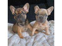 KC Registered French Bulldogs
