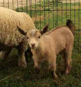 Registered Nigerian Dwarf Buck Goats INTACT breeding boys Peterborough Peterborough Area image 3