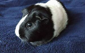 Guinea Pig for loving home + Accessories Baldivis Rockingham Area Preview