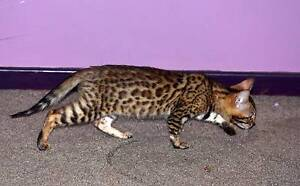 PEDIGREE BROWN ROSETTED BENGAL FEMALES AVAILABLE Armidale Armidale City Preview