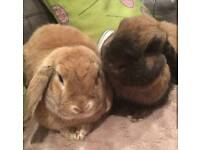 Two trained house rabbits for sale!