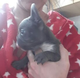 Blue french bulldog puppy girl