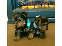 SOLD Pure pedigree Yorkshire Terrier 2boys left