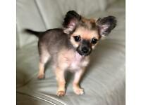 Teacup chihuahua long haired/coated male 4 months old fawn blue wolf sable