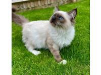 Ragdoll Kitten,2 gorgeous boys, Fife registered