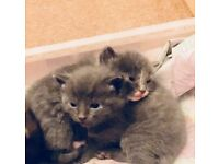 BSH x kittens bundle of fluff very playful n friendly eating wet n dry food litter trained