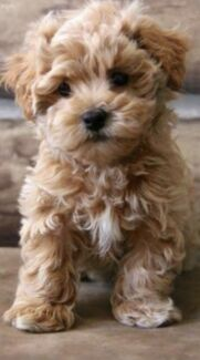 brown maltese dog brown maltese puppies goldenacresdogs com 3080