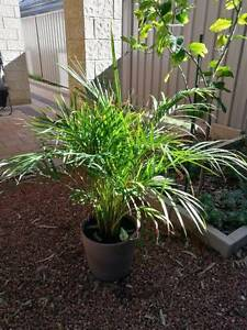 Plant for sale, include the pot and a wheel Cloverdale Belmont Area Preview