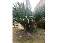 Yukka garden plant - free if recipient digs it up