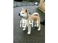 Rare Japanese Akita Inu 12 Week puppy pure breed