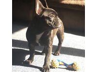 KC Reg French Bulldog