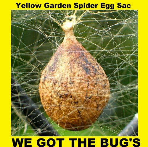 2 Real Black and Yellow Garden Spider (  Specimen  Egg Sac ) (Egg Sac Only) !