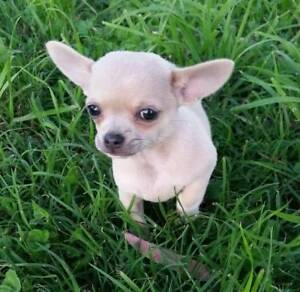 Chihuahua  Puppies Apple Heads