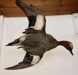 taxidermy bird flying duck