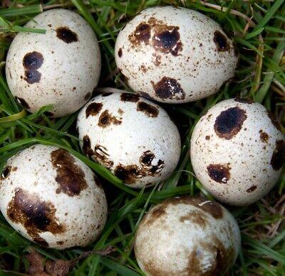122 Free Jumbo Cage Free Coturnix Pharaoh Quail Fresh Fertile Hatching Eggs