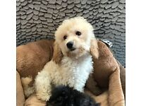 Beautiful Cavapoo Girl