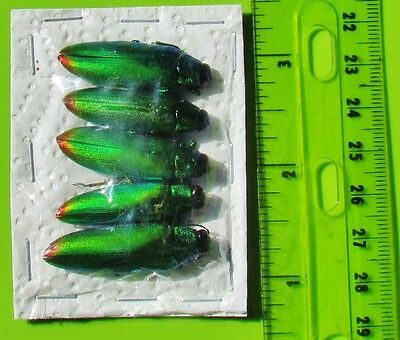 Lot of 40 Iridescent Jewel Beetle Chrysochroa fulminans fulminans FAST FROM USA