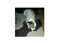 Staffy cross jack russel dog