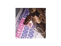 2 male normal royal pythons. £40 each