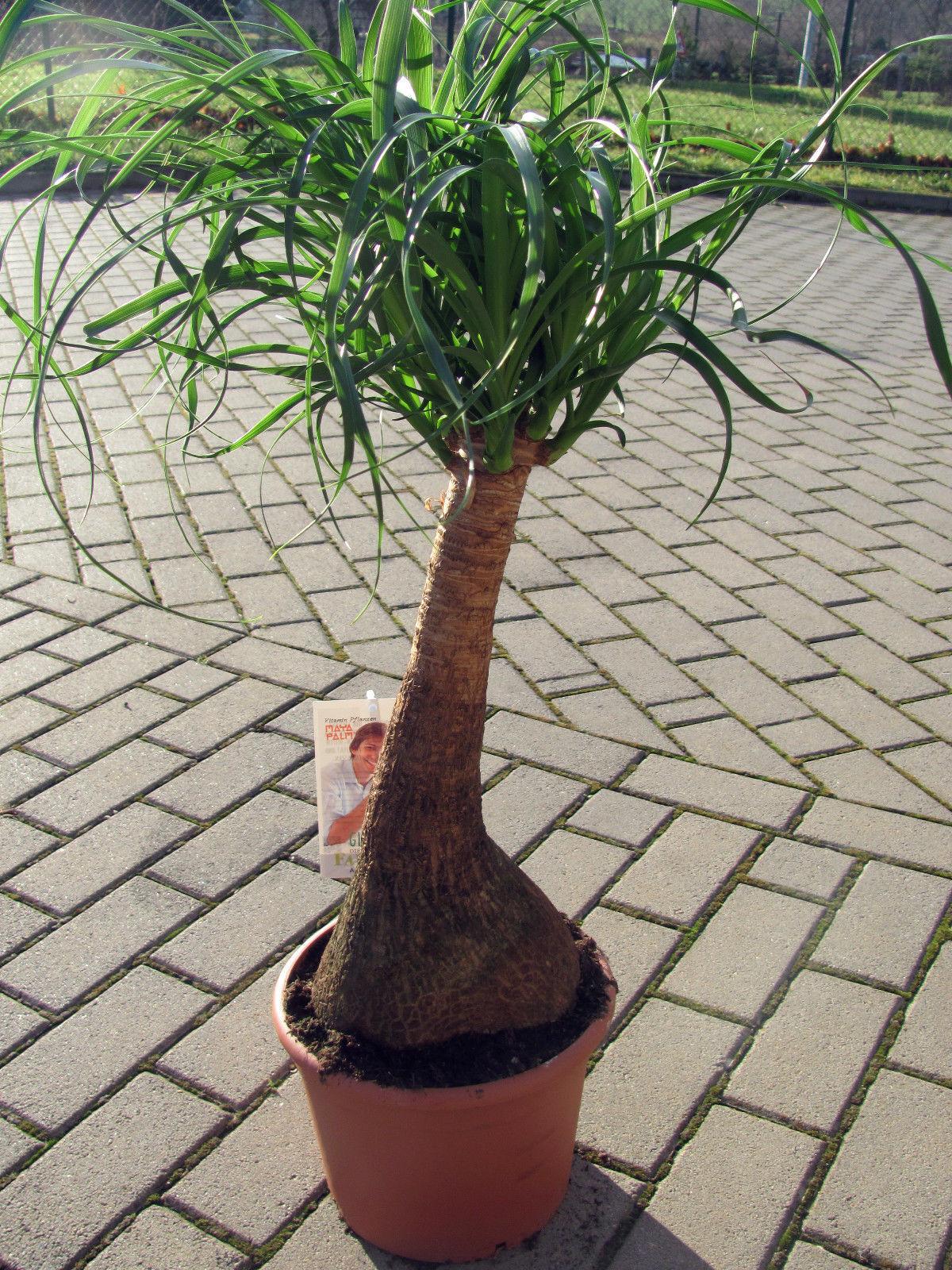 wissenswertes ber einen verwandten der yucca palme der. Black Bedroom Furniture Sets. Home Design Ideas
