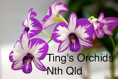 TINGS ORCHIDS NQ