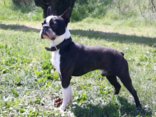 Cerco: Boston terrier per accoppiamento