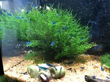 Muschio per acquario Taxiphyllum sp. Flame