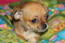 Chihuahua TOY
