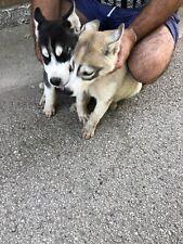 Siberian Husky (solo maschietti)