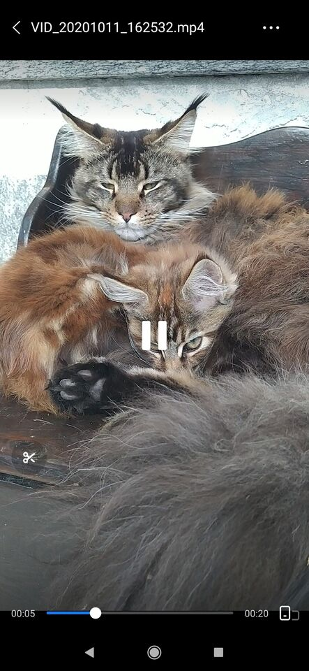 Stallone Maine Coon per monta 4