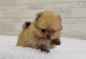Cuccioletto di spitz mini mini toy