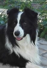 Border collie per accoppiamento