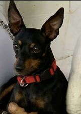 Pinscher cerca femmina