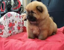 Top chow chow