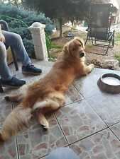 Golden retriever per monta