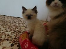 Gattino Ragdoll disponibile STUPENDISSIMO
