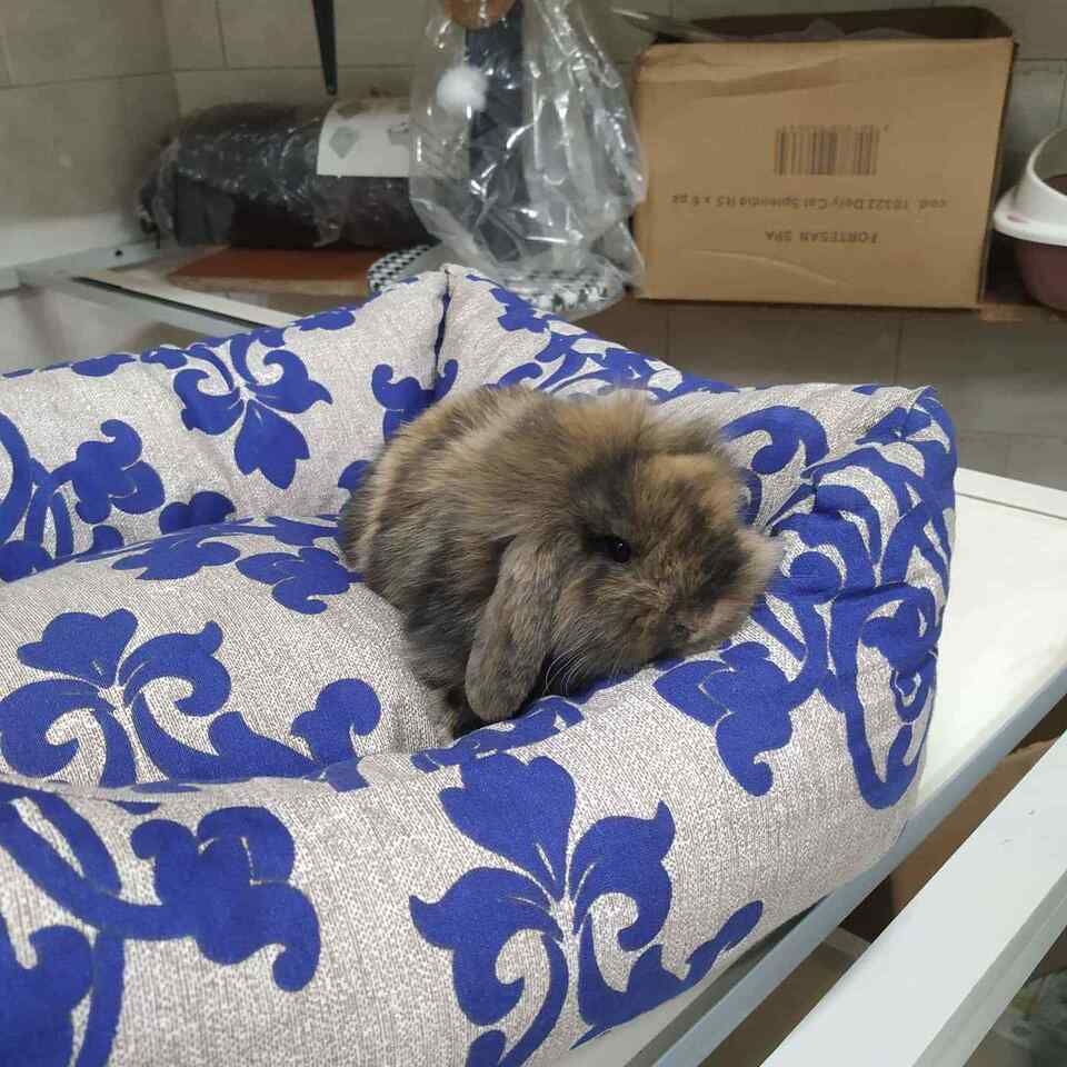 Conigli nani ariete piccoli