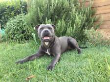 Staffordshire bull-terrier maschio disponibile per monta